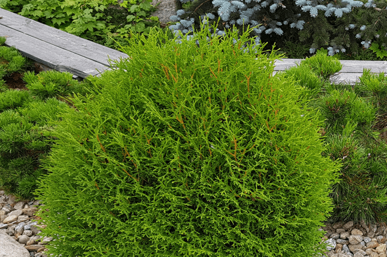 Thuja occidentalis Tiny tim