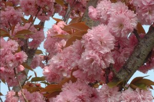 5190-Prunus-serrulata-Kanzan