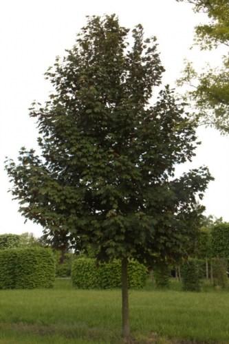 8469-Acer pseudoplatanus atropurpurea solitair-_big