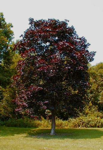 Acer_platanoides__Royal_Red_5