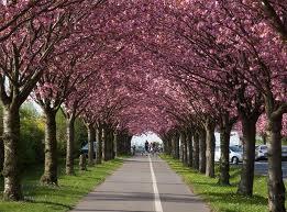 Prunus_ser._K
