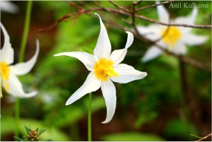 Avalanche Lily Wildflower