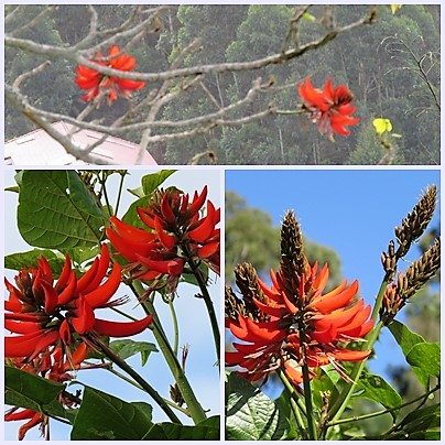 The Indian Coral tree