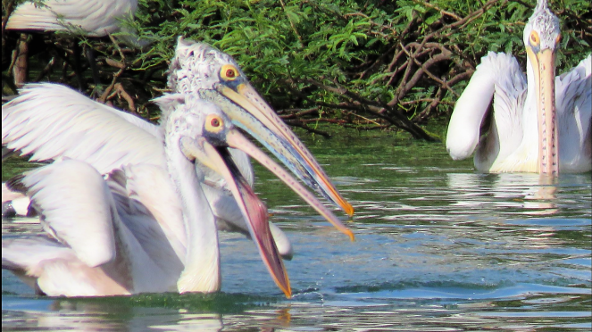 Pelicans at Uppalapadu Bird Sanctuary