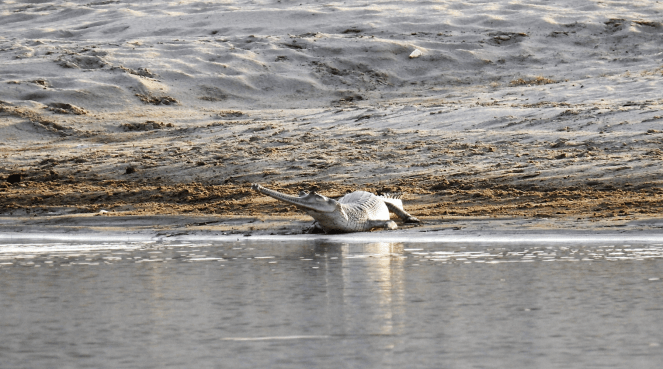 Gharial at the Chambal river sanctuary