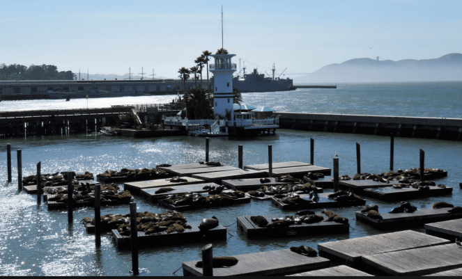 A view of the sea lions in Pier 39