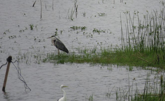 Pond heron and other water birds