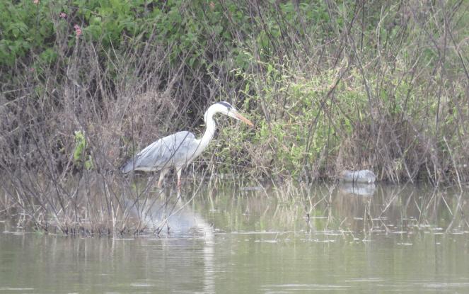 Grey heron at Bettakote Lake