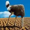 rasja.nl-conflicthantering-struisvogel