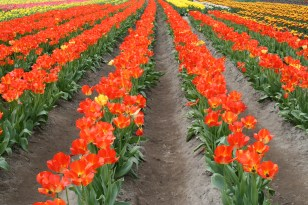 2014-04-15 Tulips-14 046