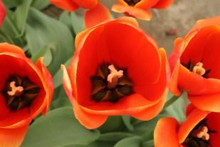 2014-04-15 Tulips-14 057