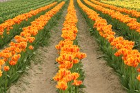 2014-04-15 Tulips-14 099