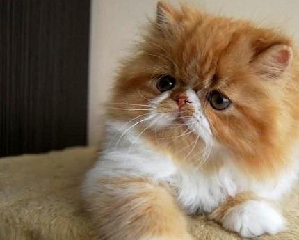 Modernistyczne Kot Perski Rudy Cena AH78