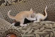 Kocięta tonkijskie - miot N1