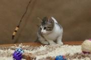 Wika - kotka Afrodyty (krótkowłosa)