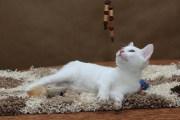 Wrotka - kotka Afrodyty (krótkowłosa)