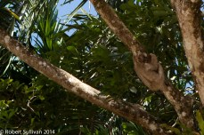 A sloth on the Caño Negro River, Cost Rica