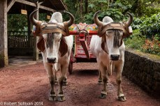 Oxen with the traditional Costa Rican Ox cart
