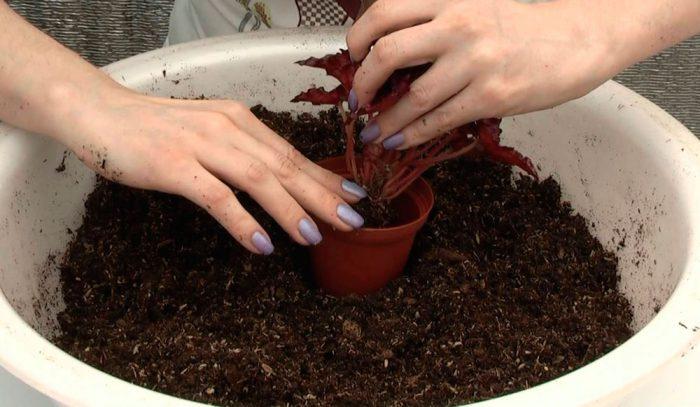 Begonia Royal Transplant