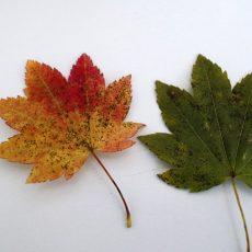 Как сажать клен из семян. Выращиваем бонсай клен дома: на выбор синий, голубой или красный цвет деревца. Какие существуют способы по выращиванию семян