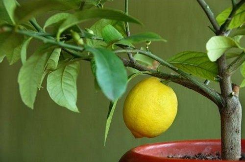 Ruiskuta sitrus hedelmien teho
