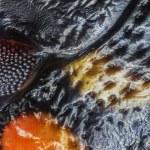 Coccinellidae - Baş Bölgesi