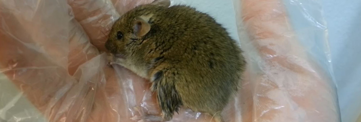 Types of Deadly Diseases Rats Give Us