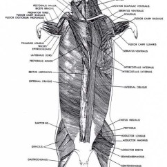 Leg Muscle Diagram Labeled Xs650 Wiring Muscular - Rat Dissection