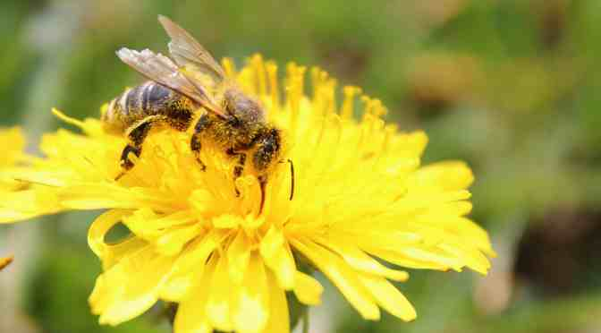 The buzz about why dandelions are important