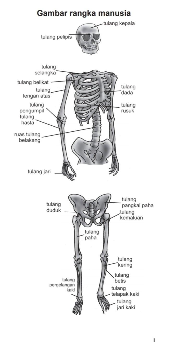 Proses perubahan tulang rawan menjadi tulang keras disebut