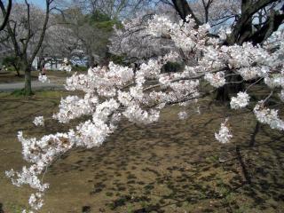 桜園地で(2008/03/26昼、新宿御苑で撮影)