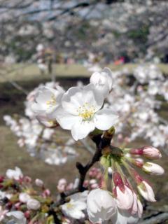 ソメイヨシノ(2008/03/26昼、新宿御苑で撮影)