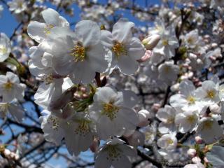 これもたぶんソメイヨシノ(2008/03/26昼、新宿御苑で撮影)