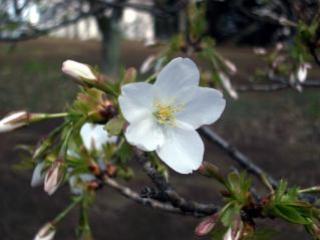 オオシマザクラ(2008年3月27日昼、新宿御苑で撮影)