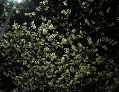 本日の桜(2008年3月23日深夜撮影)