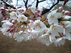 新宿御苑・桜園地のソメイヨシノ(2009年3月31日昼撮影)