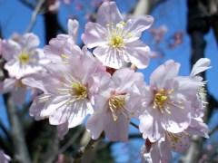 トウカイザクラ(2009年3月17日撮影)