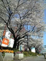 駅前通りのサクラ(2009年4月7日朝撮影)