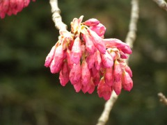 寒緋桜(日本庭園)