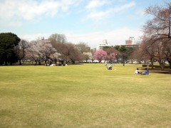 新宿御苑はこんな感じ。左からソメイヨシノ、オオシマザクラ、ヨウコウ