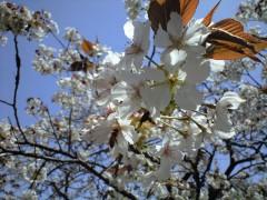 スルガダイニオイ(新宿御苑、2010年4月21日昼撮影)