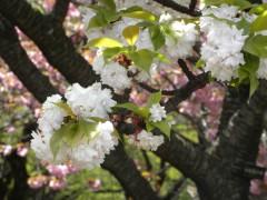 イチハラトラノオ(新宿御苑・桜園地、2010年4月21日昼撮影)