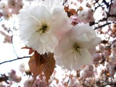 フゲンゾウ(新宿御苑・桜園地、2010年4月21日昼撮影)