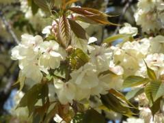 ウコン(新宿御苑C3付近、2010年4月21日昼撮影)