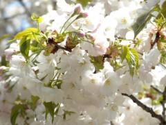 コトヒラ(新宿御苑・日本庭園、2010年4月21日昼撮影)