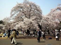 満開のソメイヨシノ(新宿御苑、N2地点付近、2010年4月6日撮影)