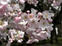 アメリカ(新宿御苑、N1地点付近、2010年4月6日撮影)
