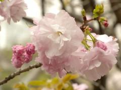 一葉(新宿御苑・桜園地、2010年4月9日撮影)