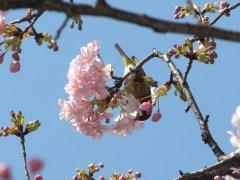サクラ咲いてます(3)