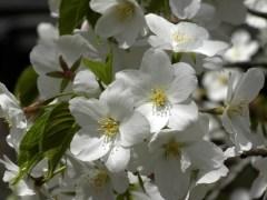 大島桜(桜園地)